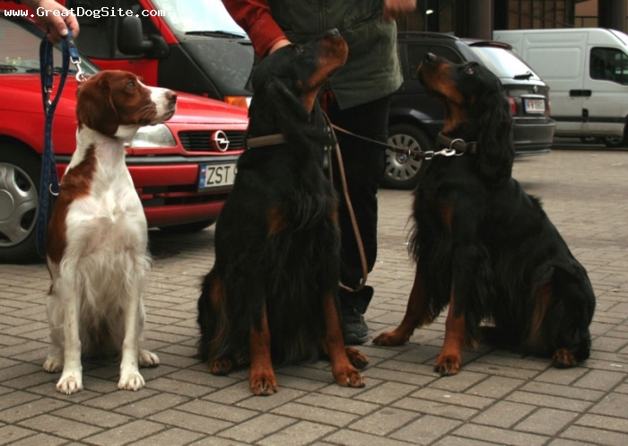 Gordon Setter, 3 years, Black, my two Gordon Setters