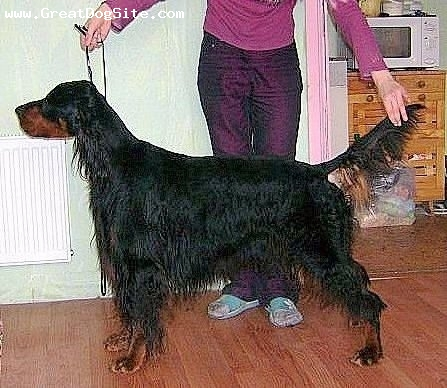 Gordon Setter, 3, Bkack and tan, His parents is BALT CH OXA z ACKLIK and KINGPOINT EVEN SO