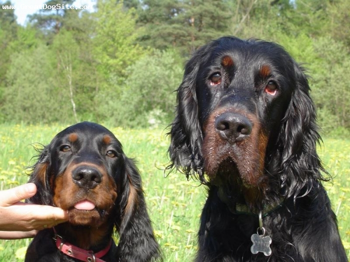 Gordon Setter, 4 years and 6 months, Black, old and young