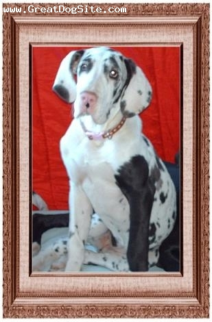 Great Dane, 4 months, Harlequin, She's a Sweet Heart