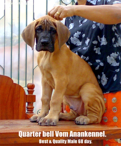 Great Dane, 50 day, fawn,   Best abd Quality vom Anankennel Thailand