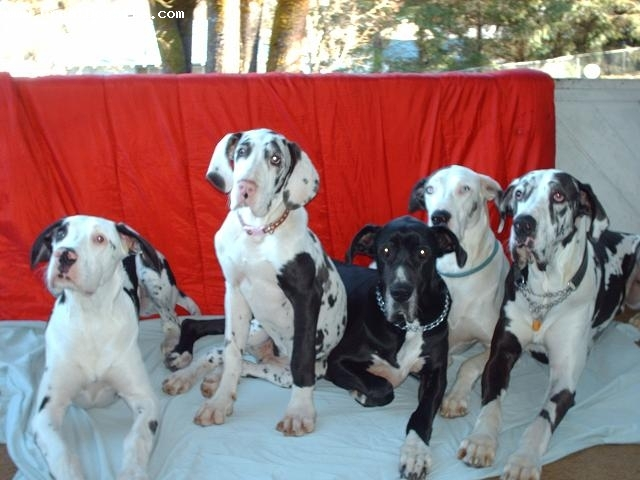 Great Dane, 7yrs, 5yrs, 5yrs, 6months, black and white, MY BEAUTIFUL GIANTS