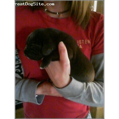 Great Dane, 9 Days, Black, Beautiful baby girl.