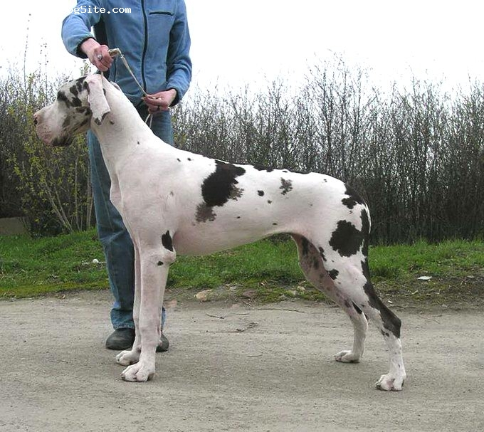 Great Dane, 9 months, harlequin, Mine the favourite girl