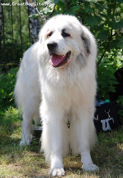 Great Pyrenees, 1.5 years, White, out camping