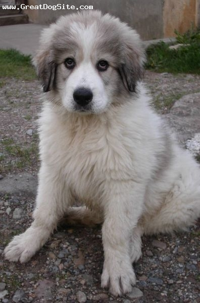 Great Pyrenees, 2 months, White, little gray-headed guy