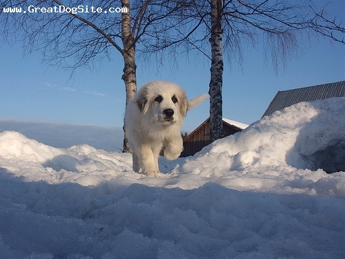 Great Pyrenees, 3 months, White, Playing in the snow.