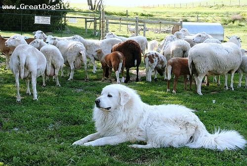 Great Pyrenees, 3 years, White, gaurding the sheep