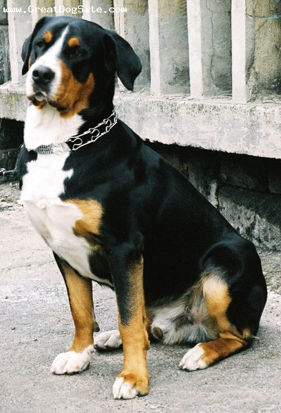Greater Swiss Mountain Dog, 1 year, Tri Color, older photo