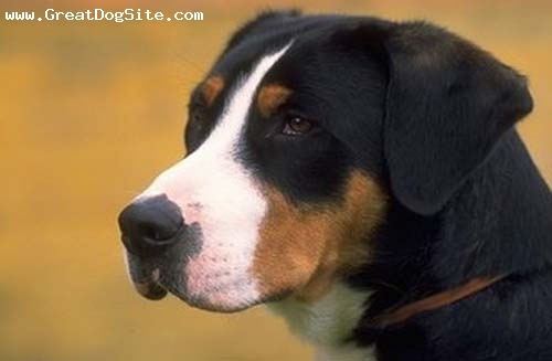 Greater Swiss Mountain Dog, 1 year, Tri Color, close up on my bud
