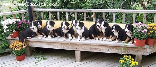 Greater Swiss Mountain Dog, 2 months, Tri Color, yes. all from the same litter