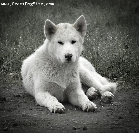 Greenland Dog, 2 years, White, laying down