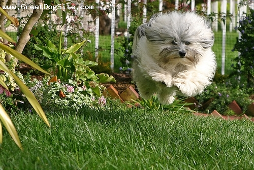 Harrier, 2 years, Brown and White, out for a walk