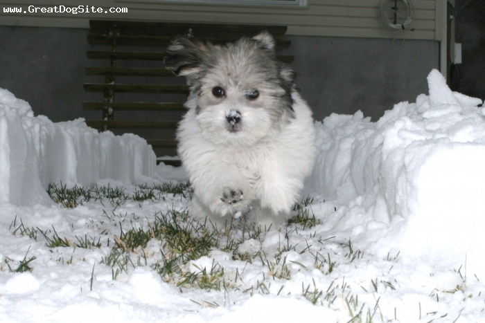 Havanese, 13 weeks, white, black, beige, chasing dad in the snow