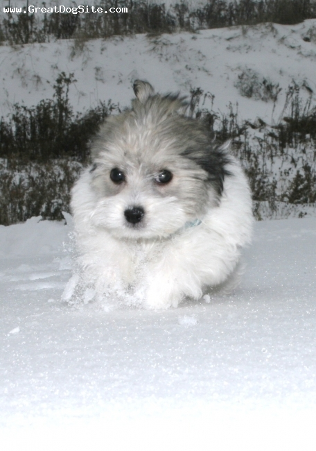 Havanese, 13 weeks, white, black, beige, ...playing in the snow still.