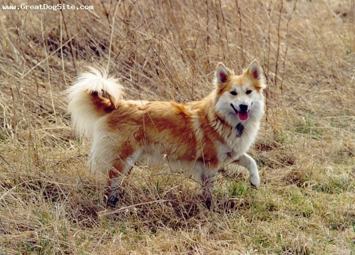 Icelandic Sheepdog, 2 years, Brown, Running around