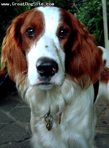 Irish Red and White Setter, 1 year, Red and White, close up