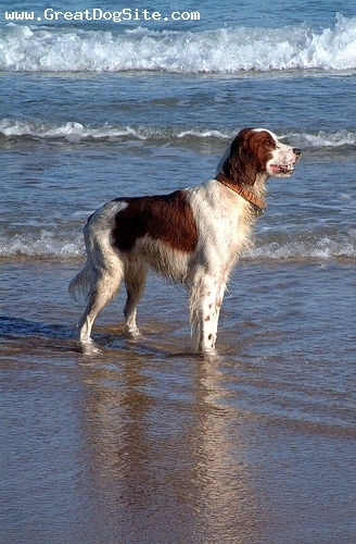 Irish Red and White Setter, 1 year, Red and White, On the beach