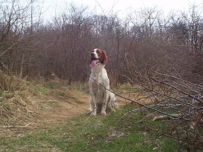 Irish Red and White Setter, 3 years, red & white, FCI7