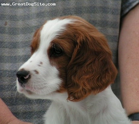 Irish Red and White Setter, 4 months, Red and White, pretty girl