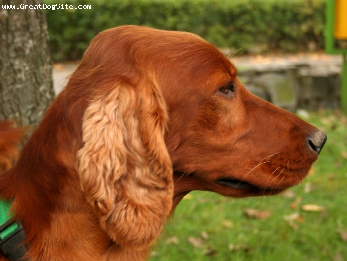Irish Setter, 1 year, Red, shes very pretty