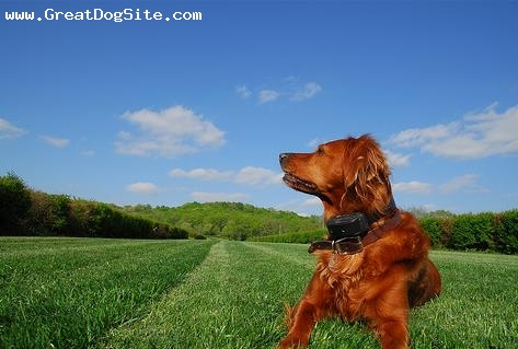 Irish Setter, 2.5 years, Red, great photo