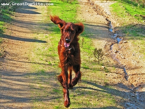 Irish Setter, 4 years, Red, Running around