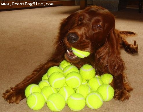 Irish Setter, 5 months, Red, look at all his tennis balls