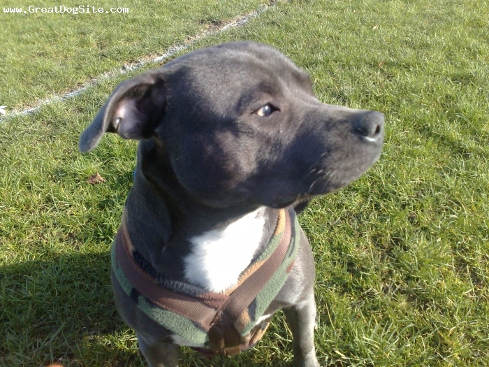 Irish Staffordshire Bull Terrier, 11 months, blue, male1