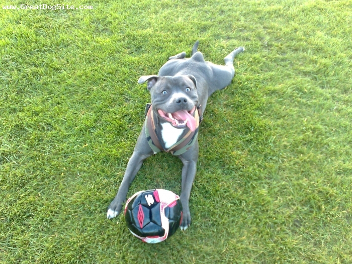 About Terriers: Staffordshire Bull Terrier: The Breed