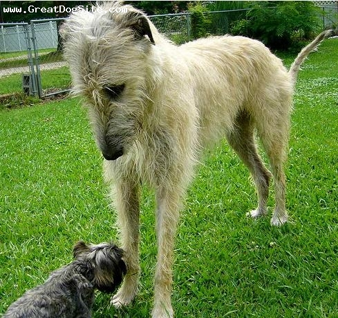 Irish Wolfhound, 11 months, Gray, her little playmate