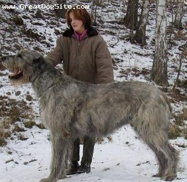 Irish Wolfhound, 2 years, Gray, He's tall!