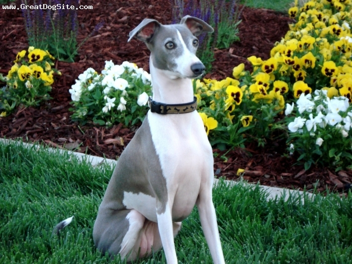 Italian Greyhound, 5 years, Blue and White, Big for her breed, but very smart, easy to train, and loves everyone...even strangers.