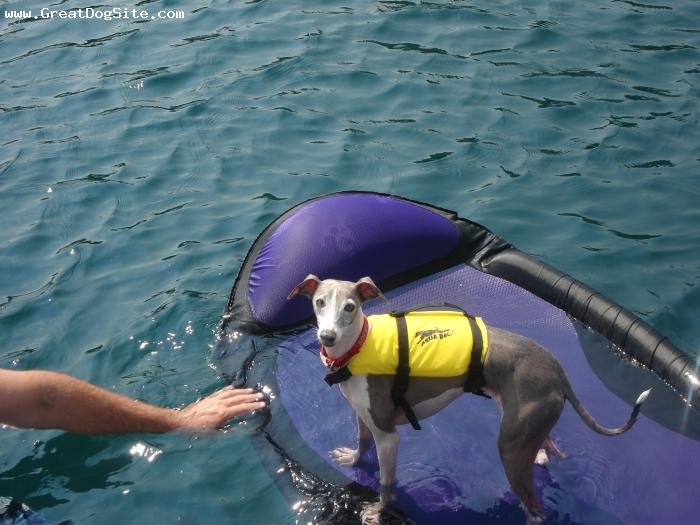Italian Greyhound, 5 years, Blue and White, Hates the water, but wouldn't stay of the boat alone so she had to join the family.