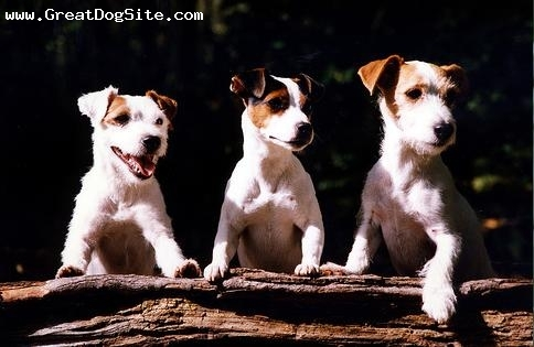 Jack Russell Terrier, 9 months, Brown and White, photo op