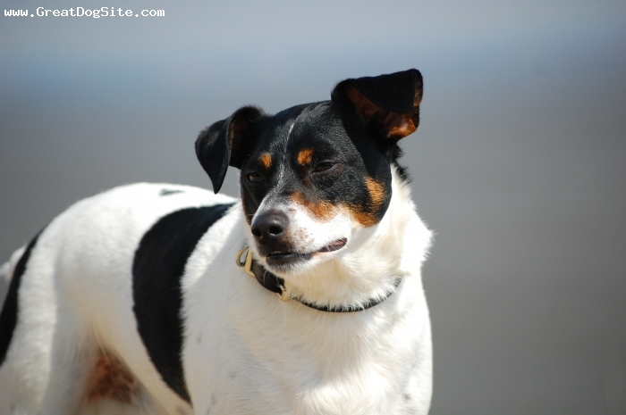 Jack Russell Terrier, three years, Tri-colored, Mikie is a photo hog and poses too!
