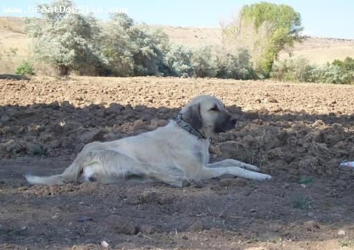 Kangal, unsure, Tan, Photo provided courtesy of Carola Crooker at