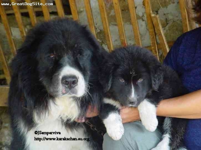 Karakachan, 2 years, Black and White, Mraco and granddaughter KaraKitan. Owner Semperviva.
