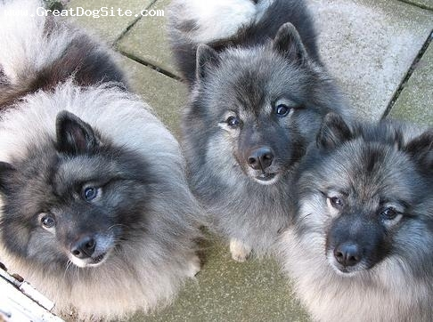 Keeshond, 1 year, Gray, my fav photo