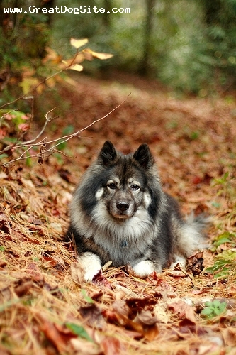 Keeshond, 1 year, Gray, in the woods with me