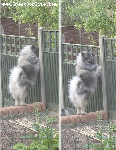 Keeshond, 2 years, Gray, peeping on the neighbours