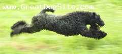 Kerry Blue Terrier, 1 year, Black, Running