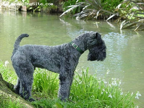 Kerry Blue Terrier, 1 year, Black, by the creek