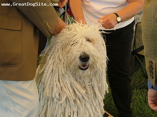 Komondor, 3 years, White, at a show