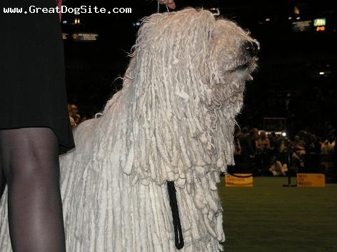 Komondor, 5 years, White, our boy