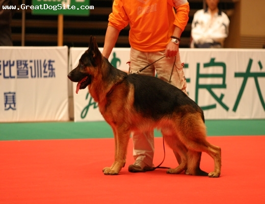 Kunming Dog, 2 years, Brown, at a show