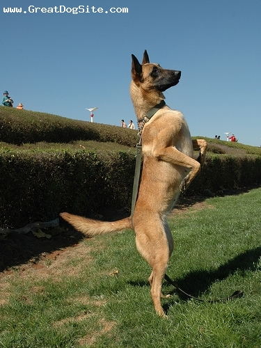 Kunming Dog, 3 years, Brown, standing tall