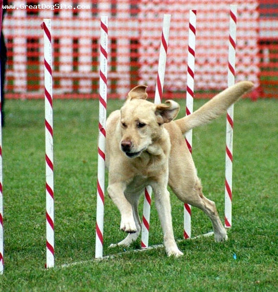 Labrador Retriever, 1 year, Yellow, Running and showing his agility as a Labrador Retriever