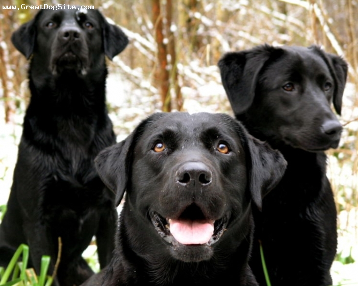 Labrador Retriever, 2 years, Black, A gang of Labrador Retrievers