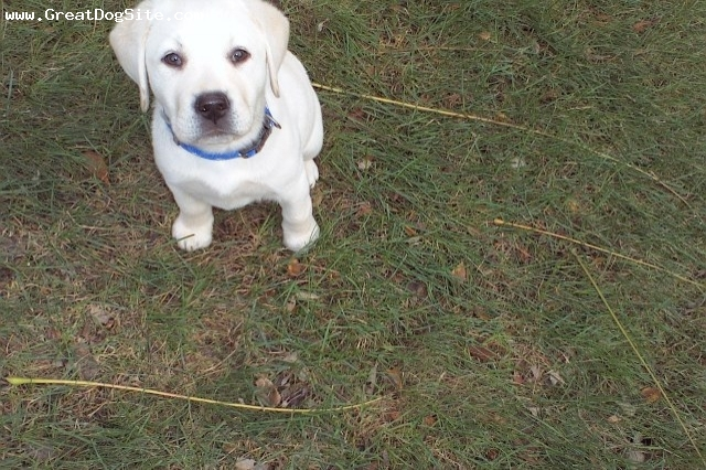 Labrador Retriever, 4.5 months, Blond, Active, playful, will put her head on the pillow next to you to sleep :-)